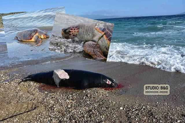 Νεκρές δυο θαλάσσιες χελώνες και μια φώκια στα παράλια της Πελοποννήσου