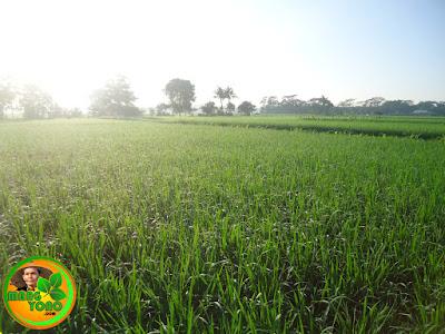 Hijaunya hamparan sawah Dusun Gardu, Bendungan, Pagaden Barat