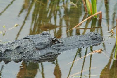 American Alligator (Alligator mississipiensis)