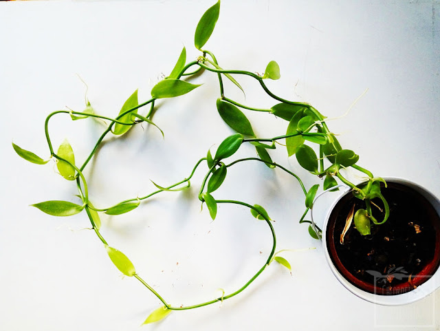 Wanilia płaskolistna (Vanilla planifolia) - jak wygląda po trzech latach uprawy u mnie w domu? Zdjęcia całej rośliny i liści:)