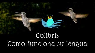 colibris, nectar colibri, fotos colibri, video colibri