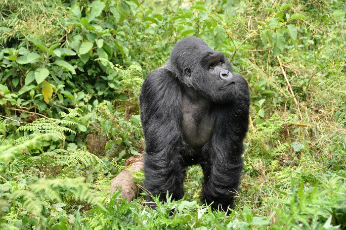 gorilla in safari