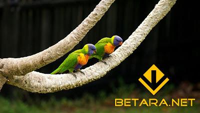 Panduan Cara Ternak Burung Lovebird Untuk Pemula Lengkap 2017