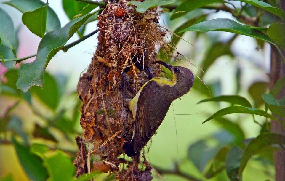 image of a female sunbird building a nest.