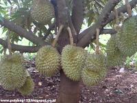 Tips Menanam Durian Tabulampot Supaya Cepat Berbuah
