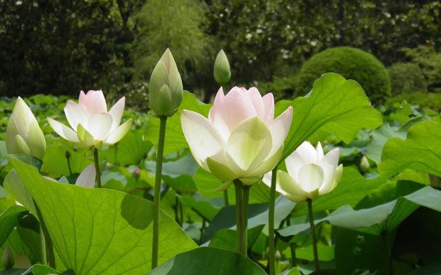 Hình ảnh hoa sen trắng đẹp, hoa sen trắng đẹp tinh khôi