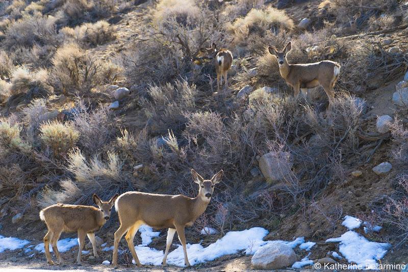 Mule Deer Things to Do in Bishop California