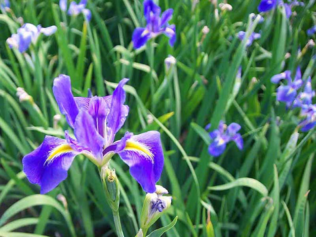 flowers, Iris, purple, Okinawa
