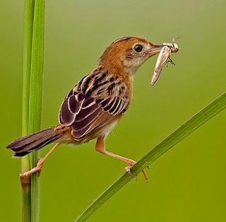 Mengenal Dekat Burung Cici Padi Merah Yang Bisa Di Jadikan Masteran