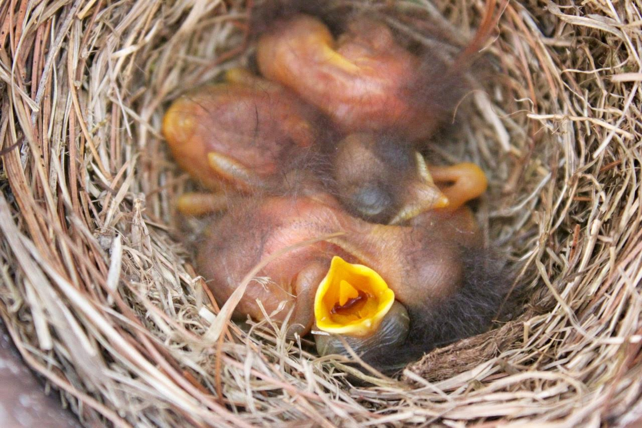 wild birds unlimited photo share 4 of our baby blue birds