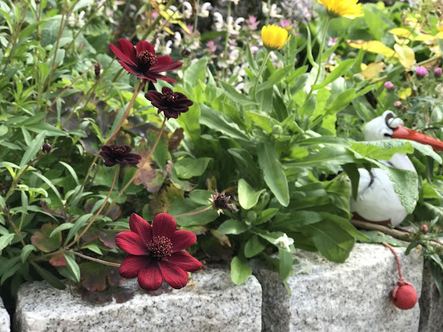 Schokoladenblume und Ringelblume (c) by Joachim Wenk
