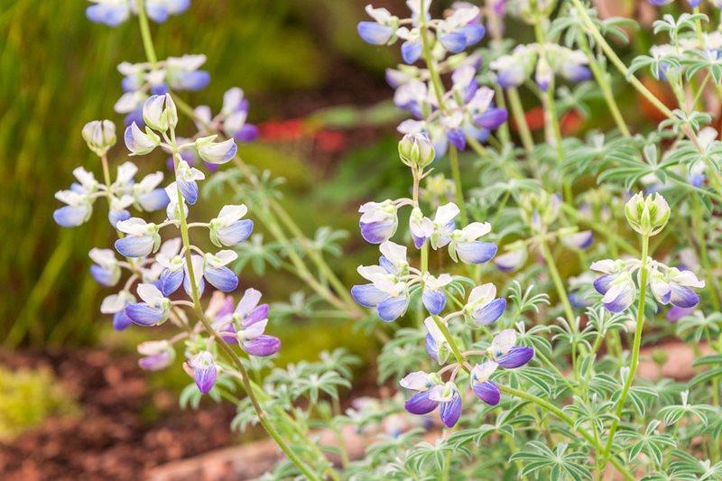 Lupinus lepidus (Penberth Plants)