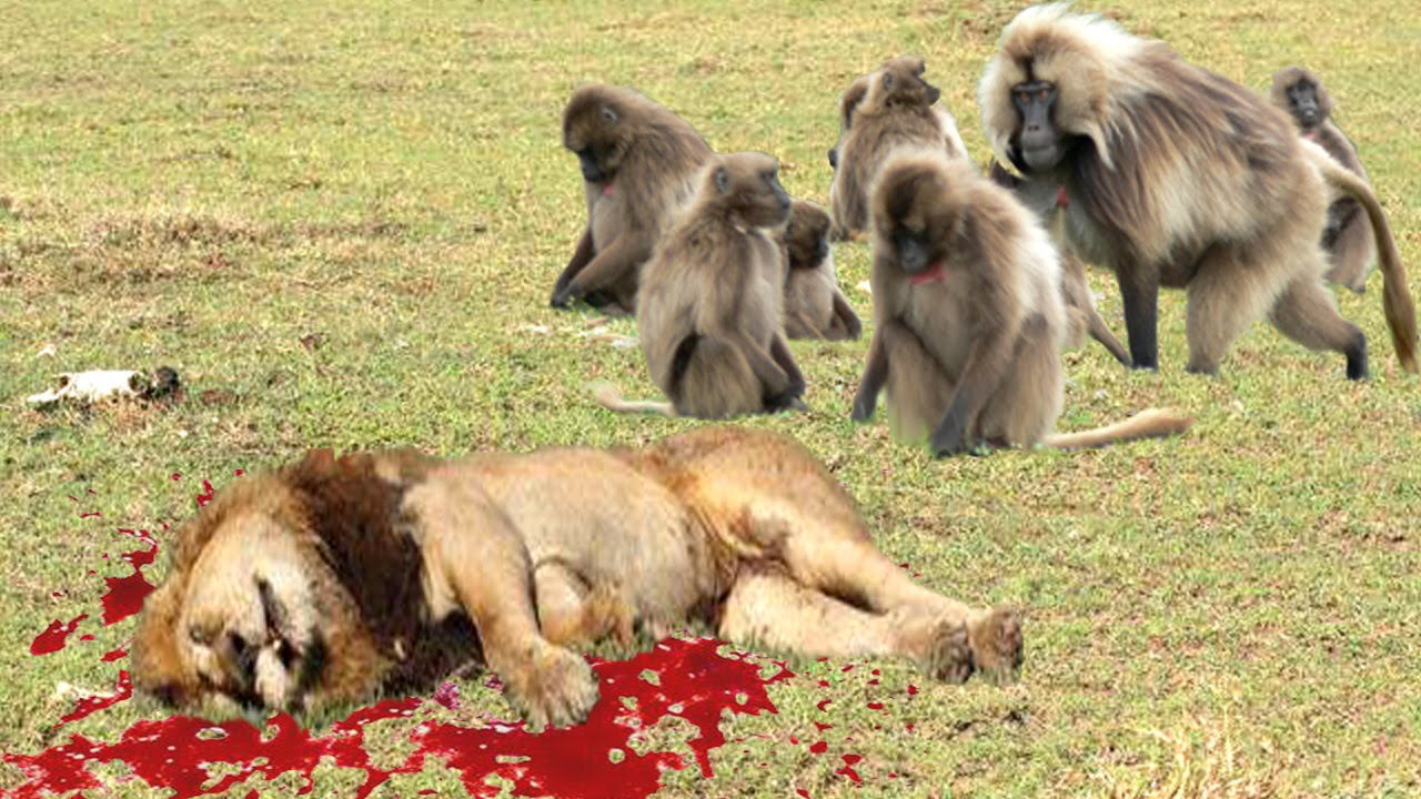 LionKing: LION vs BABOON REAL FIGHT | LION ATTACK BABOON ...
