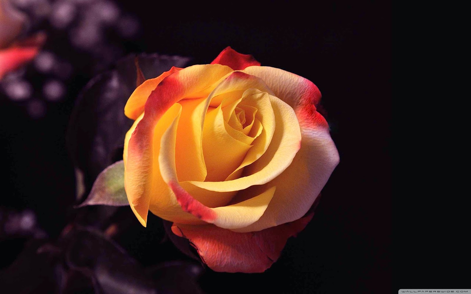 rose beauty wallpaper