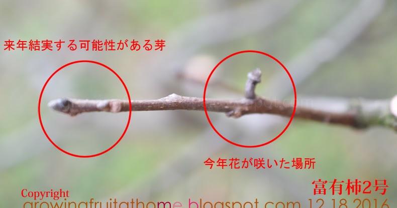 【コンパクトな柿の木の剪定方法 家庭向け】|おいしい鉢植え果樹の栽培育て方:自宅を果樹園に☆