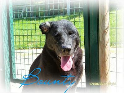 BOUNTY - labrador 7 ans - SPA Dieppoise à Saint Aubin sur Scie (76) Bounty%2B1