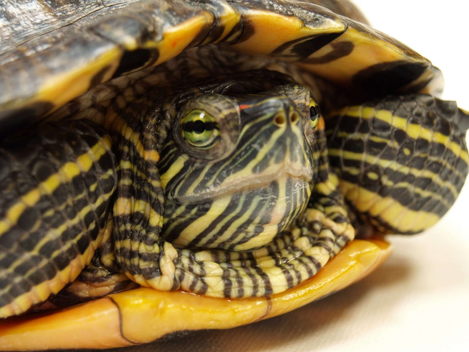 Diseases of red-eared turtles: symptoms and treatment (photo) 76