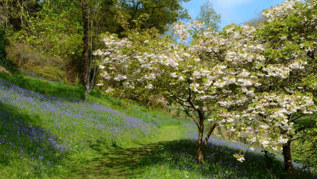 Bluebell woods at Glendurgan in Cornwall