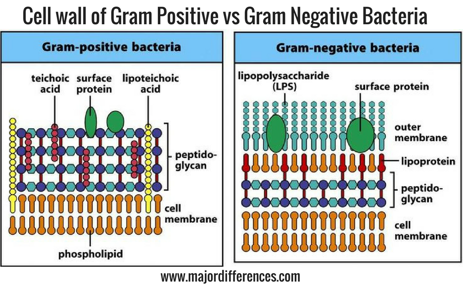 major differences: 10 differences between cell wall of gram positive
