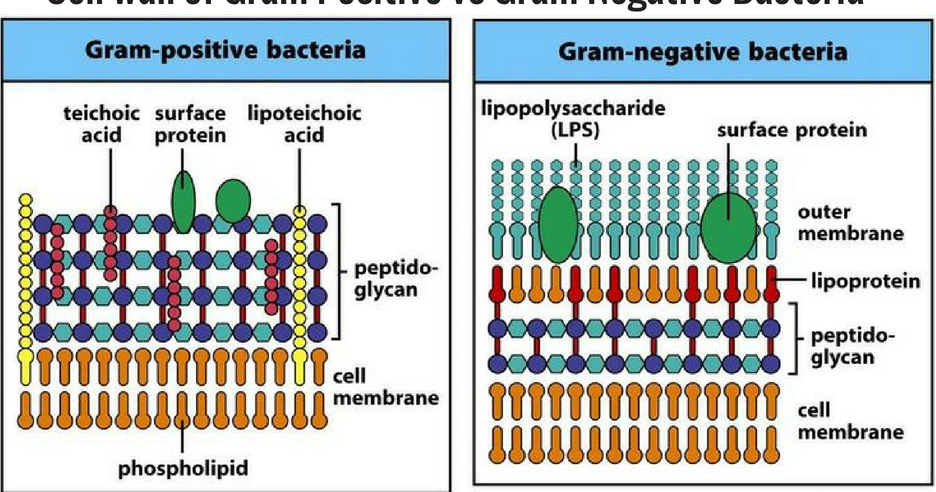 10 differences between cell wall of gram positive and gram negative 10 differences between cell wall of gram positive and gram negative bacteria md ccuart Image collections