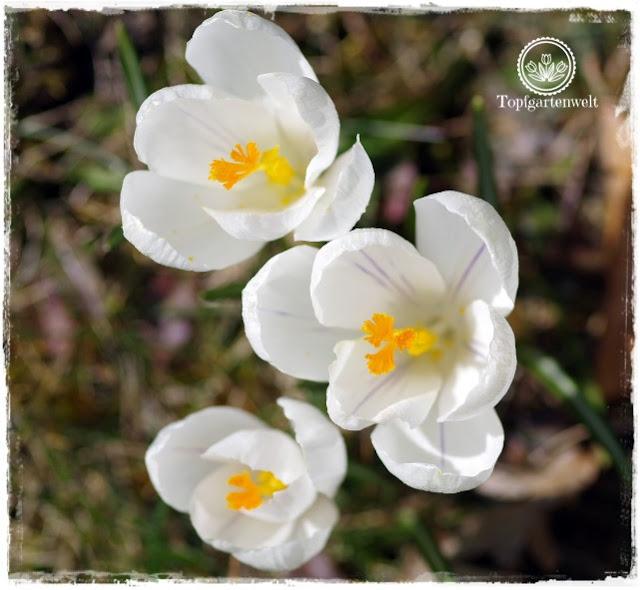 Gartenblog Topfgartenwelt Topfgarten + DIY mit Knagglig (Kiste) und Töpfen viel Platz auf kleinem Raum schaffen - Blumendeko mit Hornveilchen und Bellis passend für den Frühling und Ostern: Krokusse in der Wiese