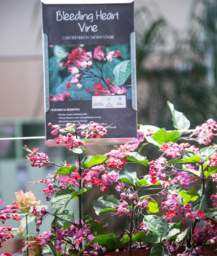 bleeding heart vine for Florida gardens