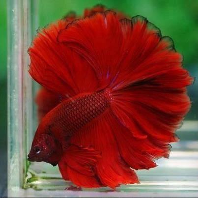 Berbagai Macam Jenis Ikan Cupang Pontianak Cupang