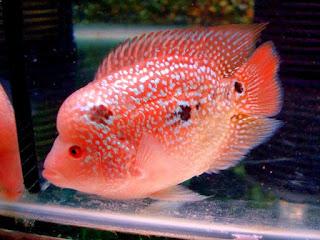 Anakan Ikan Louhan yang Berkualitas