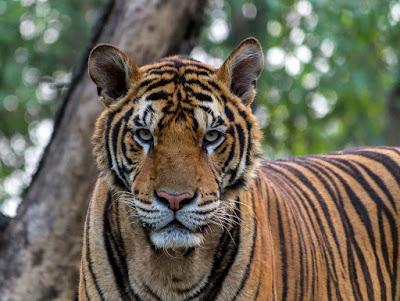 भारत में दुनिया के सबसे ज्यादा बाघ है India largest number Tigers in the world