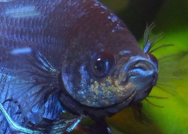 Gambar Jenis Penyakit Ikan Cupang Bintik emas / karatan ( Velvet ) Dan Cara Mengobatinya