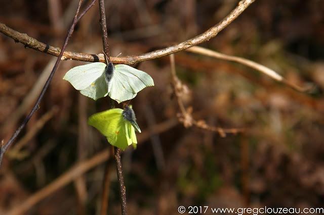 Le citron Gonepteryx rhamni ♀ en haut, mâle en bas ♂, Forêt de Fontainebleau