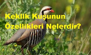 Keklik Kuşunun Özellikleri Nelerdir?