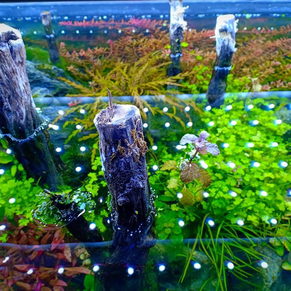 cây tía tô trong hồ thủy sinh của Ams-Aquascape-Madiun