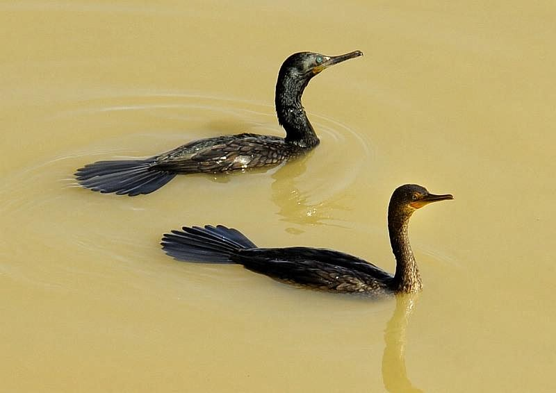 Cormorán indio: Phalacrocorax fuscicollis