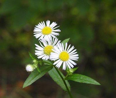 Bunga chamomile memiliki aroma yang manis, dan itu lebih dari cukup untuk membantu anda mendapatkan kualitas tidur yang lebih baik.