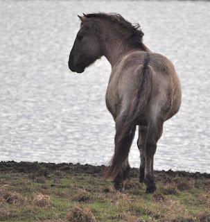 Konik pony, Burwell Fen