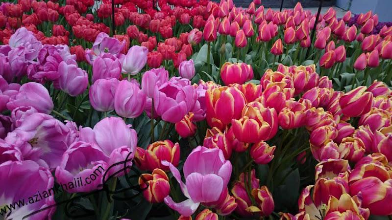 WW: Gambar Bunga Tulip