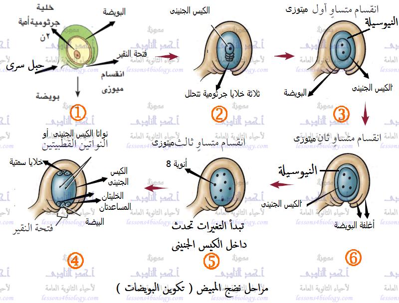 مراحل تكوين البويضات - التكاثر فى النباتات الزهرية