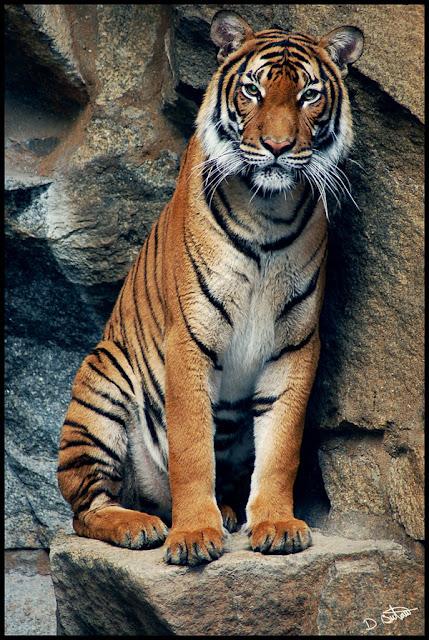 Les tigres 1218820853IhdBhe2%255B1%255D