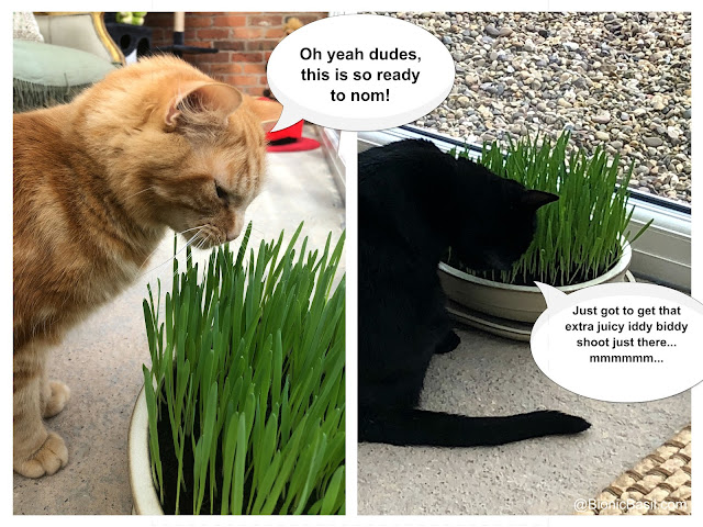 Gardening with Cats - cat grass ©BionicBasil®