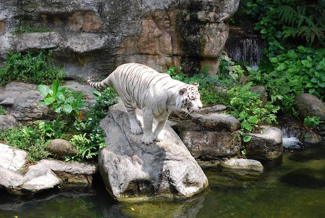 Singapore White Tiger