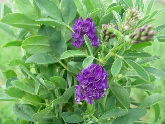 Lucerne  flower  image