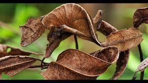 Gecko Fantastis Berekor Daun