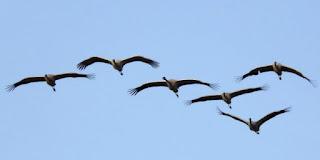 http://www.efeverde.com/noticias/unas-8-000-grullas-pasan-invierno-parque-nacional-cabaneros/