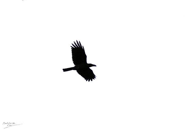 Gagak terbang, Birding during Eid-Adha Holiday