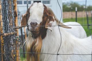 Goat farming businessbusiness ideasnew business ideassmall business ideasgood business ideas