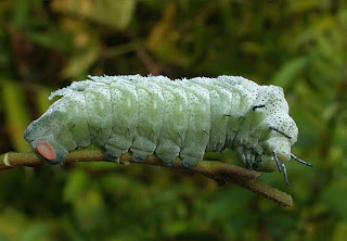 A lagarta da mariposa gigante
