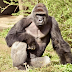 'Harambe has a 'future' - Zoo reveals sperm was removed from Harambe the gorilla after he was shot dead