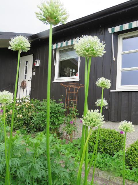Foto 6: Langstilkete, hvite allium i Furulunden