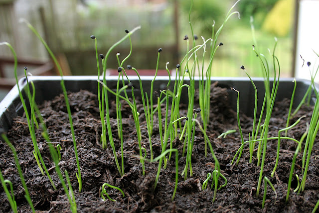 The Victory Garden - Young Leek seedlings looking like grass in the seed try